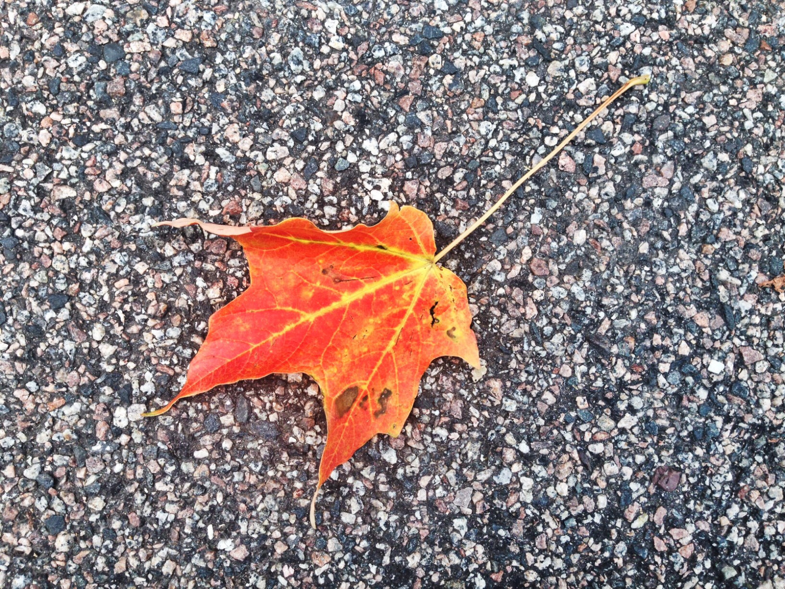 A brilliant orange and red leaf sitting on a tarmac surface